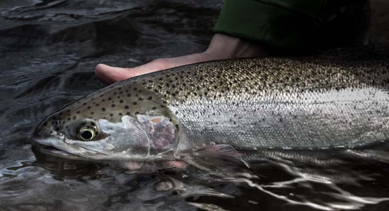 Oregon Steelhead